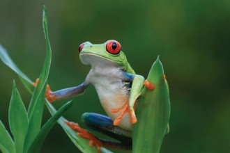 This cute little frog might even gamble with you in Costa Rica!